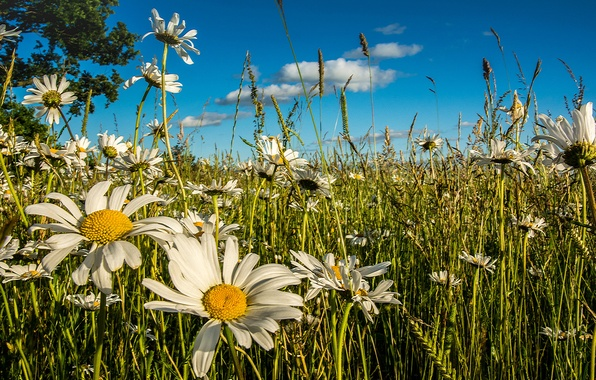 Picture summer, flowers, chamomile, meadow