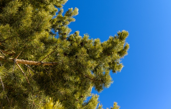 Picture the sky, needles, branches, nature, spruce, pine