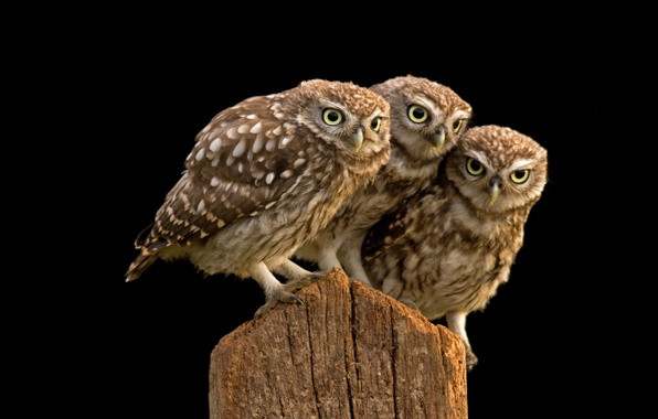 Picture owls, trio, burrowing owl
