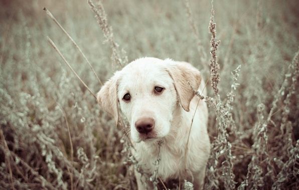 Picture field, nature, dog, puppy