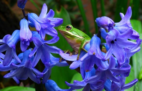 Picture macro, flowers, frog, hyacinths, treefrog, tree frog, shepherd's tree frog