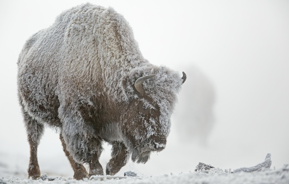 Picture winter, frost, snow, fog, Yellowstone national Park, Buffalo
