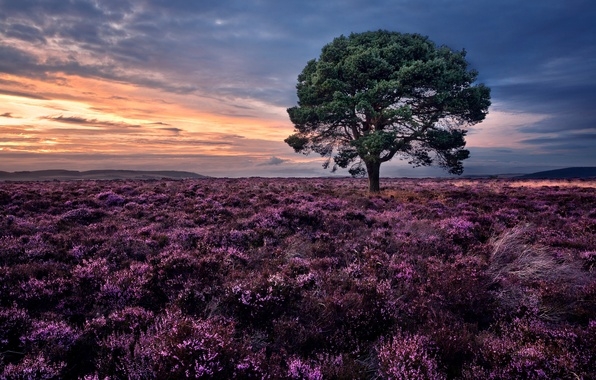 Picture sunset, tree, Scotland, pine, Scotland, Heather, Siglos, Sidlaw Hills