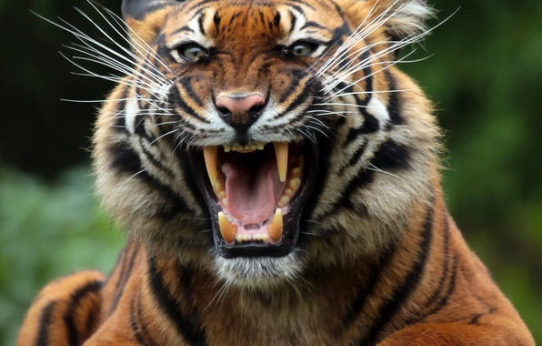 Picture face, tiger, predator, mouth, fangs, grin, wild cat