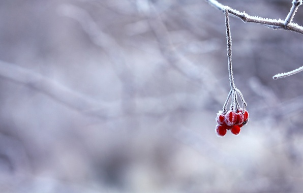 Picture winter, frost, snow, berries, branch, red