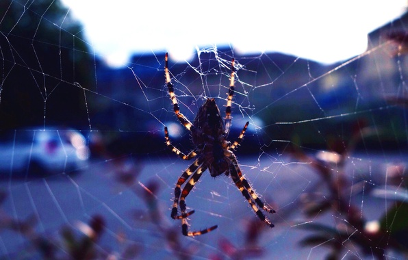 Picture nature, the city, background, web, spider, insect