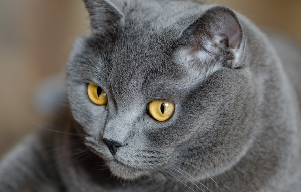 Picture cat, eyes, cat, look, grey, yellow, British, British