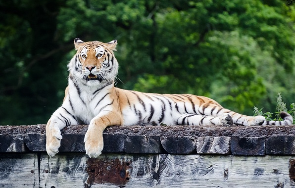 Picture face, tiger, stay, predator, paws, lies, wild cat