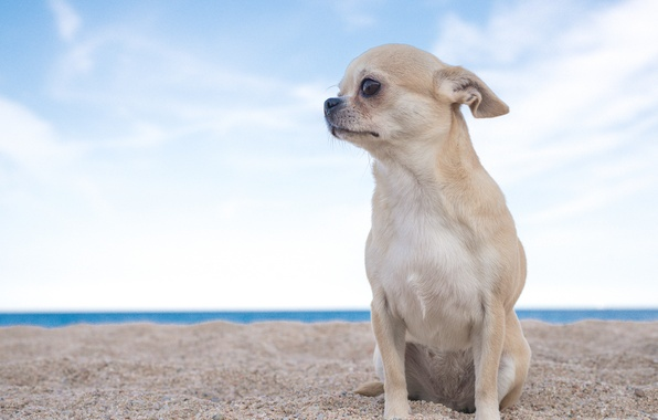 Picture sand, the sky, dog, Chihuahua, doggie, dog