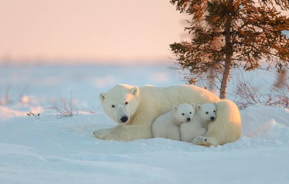 Picture bear, bears, polar bears, bear, in the North
