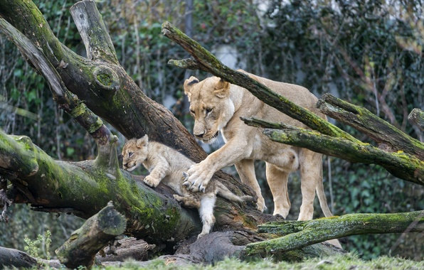 Picture cats, tree, moss, cub, kitty, lions, lioness, lion, ©Tambako The Jaguar