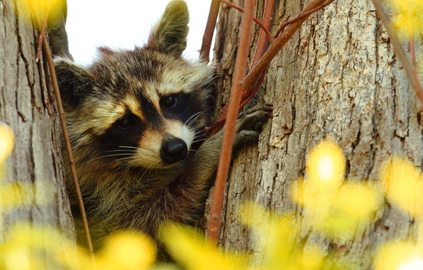 Picture branches, tree, portrait, raccoon, face