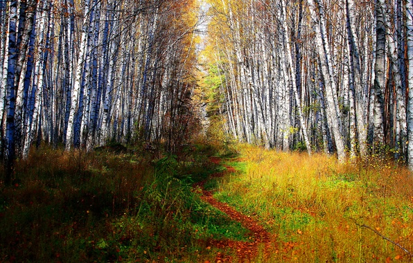 Picture FOREST, GRASS, GREENS, TRAIL, TREES, VEGETATION, TRUNKS, BIRCH, The BUSHES