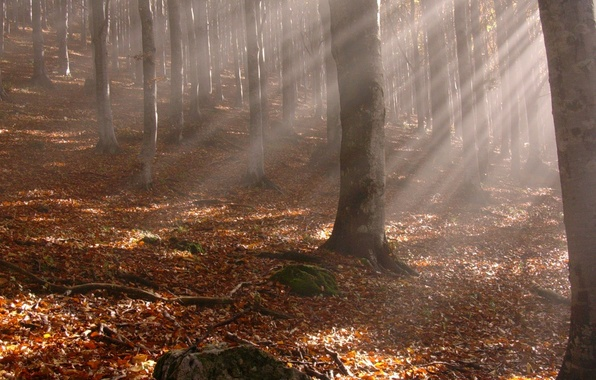 Picture autumn, forest, leaves, rays, trees, branches, yellow fallen leaves, trunks