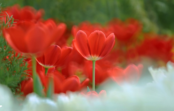 Picture tulips, red, bokeh