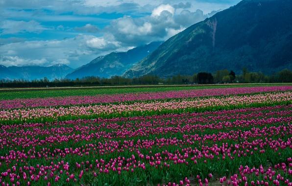 Picture field, clouds, snow, landscape, flowers, mountains, nature, tulips, landscape, nature, flowers, clouds, mountain, snow, tulips, …