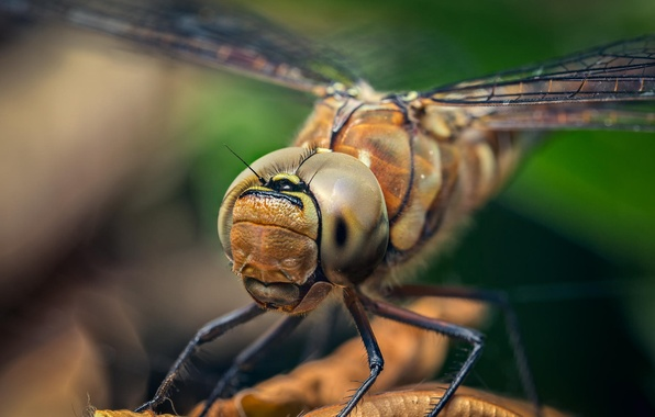 Picture eyes, wings, legs, head, dragonfly, insect