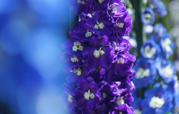Picture flowers, focus, blue, lilac, delphinium