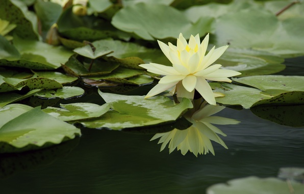 Picture water, reflection, Nymphaeum, water Lily