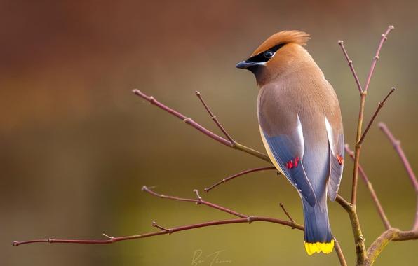 Picture background, bird, branch, swistel
