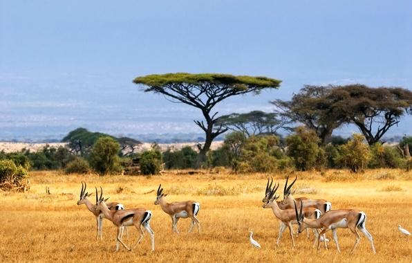 Picture landscape, Savannah, Africa, antelopes, african landscape, Savanna, antelope, safari