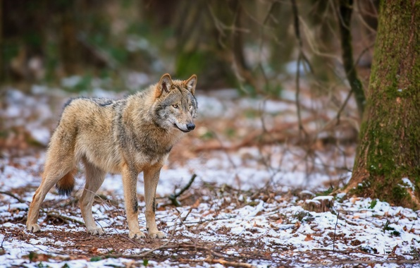 Picture autumn, forest, snow, wolf, predator, is, looks