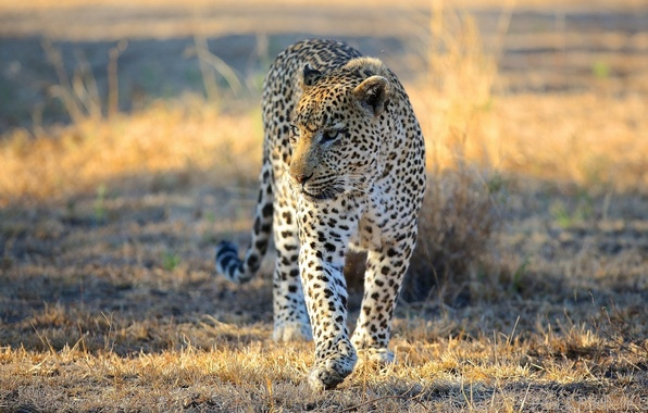 Picture face, predator, leopard, Savannah, Africa, walk, wild cat