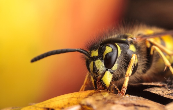 Picture BODY, WINGS, INSECT, MUSTACHE, LEGS, HAIRS, OSA