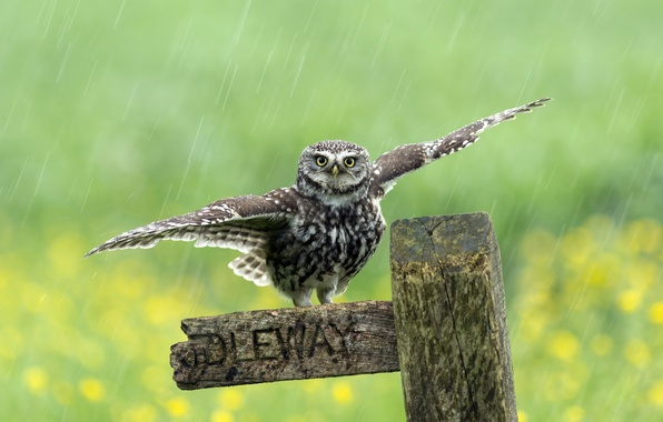 Picture rain, bird, the fence