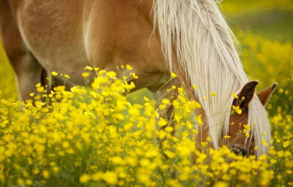 Picture greens, field, animals, the sun, flowers, yellow, background, horse, widescreen, Wallpaper, horse, mane, wallpaper, flowers, …