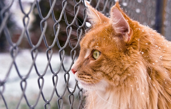 Picture winter, cat, cat, look, snow, mesh, red, Maine Coon