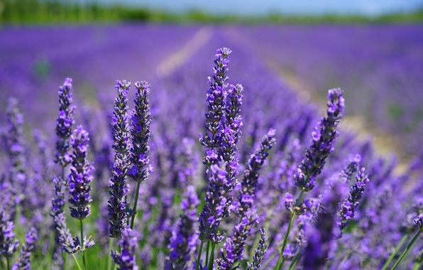 Picture field, the sun, flowers, lavender, bokeh