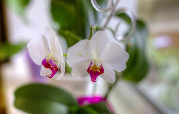 Picture flowers, petals, white, orchids