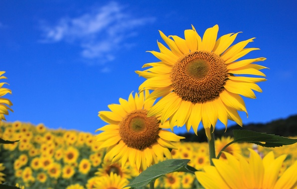 Picture field, the sky, leaves, flowers, sunflower, petals
