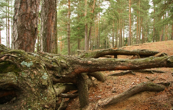 Picture forest, landscape, nature, roots, mood, stay, pine, walk