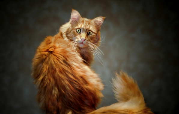 Picture eyes, cat, look, red, tail, Kote