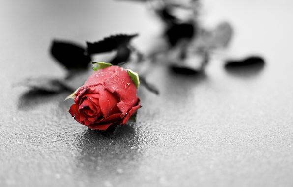 Picture Flower, Rose, Beton