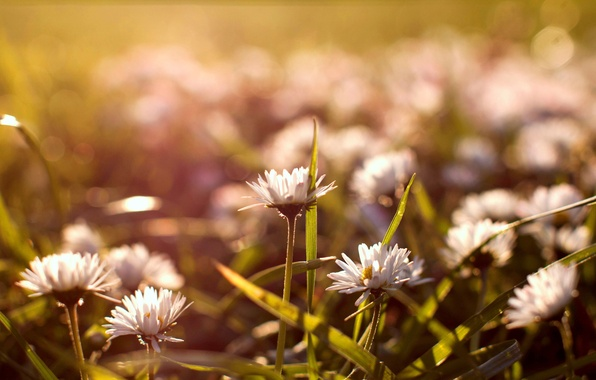 Picture grass, flowers, nature, glade, chamomile, white, buds