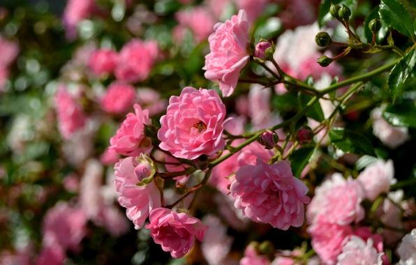 Picture macro, roses, branch, bokeh, rose Bush