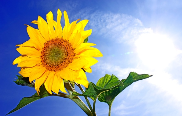 Picture the sky, the sun, clouds, yellow, blue, sunflower, closeup