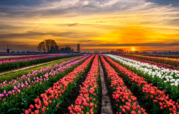 Picture field, trees, landscape, sunset, horizon, mill, tulips, colorful, a lot