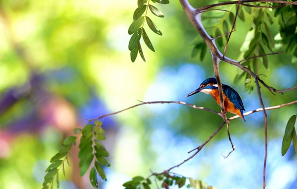 Picture summer, branches, tree, bird, Kingfisher
