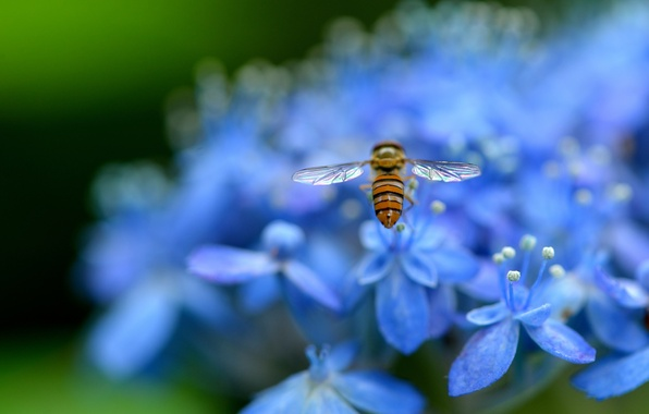 Picture macro, flowers, nature, petals, blur, blue, insect, Hydrangea