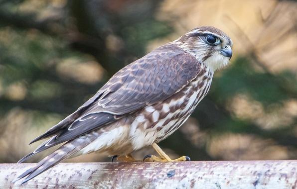 Picture look, bird, predator, Falcon, profile