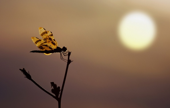 Picture sunset, silhouette, Dragonfly