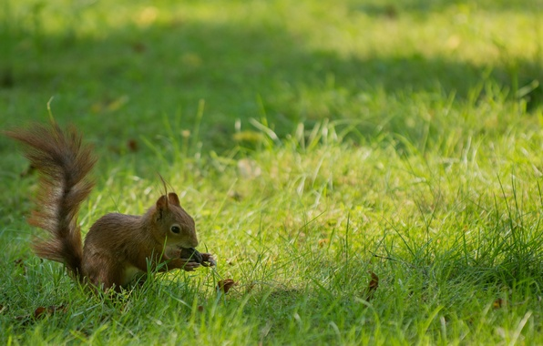 Picture grass, background, widescreen, Wallpaper, walnut, protein, wallpaper, grass, widescreen, background, rodent, full screen, HD wallpapers, …