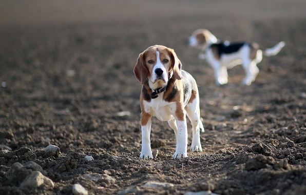 Picture field, dogs, beagles