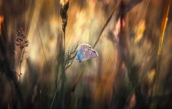 Picture grass, macro, butterfly, Metalic