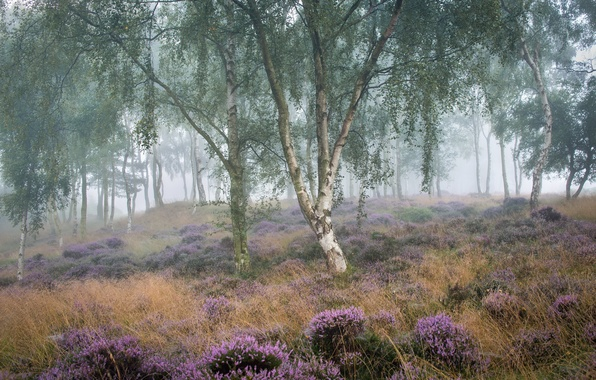 Picture summer, fog, morning, birch