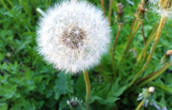 Picture flower, dandelion, fuzzes